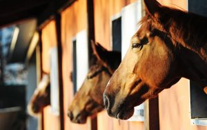 horses looking out of stable